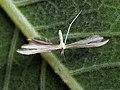 Hellinsia osteodactyla (43173650574).jpg
