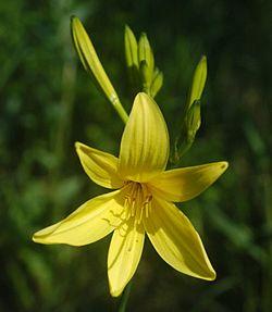 Hemerocallis lilioasphodelus.jpg