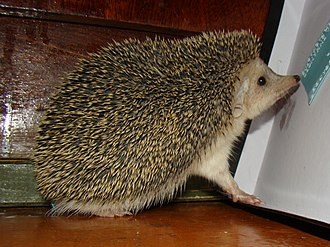 Long-eared hedgehog - Image: Hemiechinus auritus; Baikonur 09