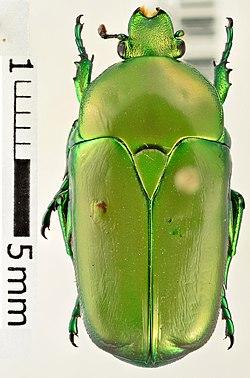 Hemipharis insularis01.jpg