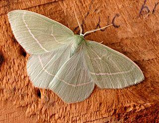 Hemitheini Tribe of moths