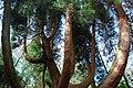Hen Gedrwydden Siapan Portmeirion Old Japanese Cedar - geograph.org.uk - 708549.jpg