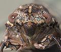 Henicopsaltria Eydouxii 02.jpg