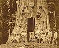 Hercules tree - 1902.jpg