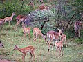 Herd of Impala (15842303760).jpg