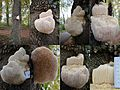 "Hericium erinaceus (Bearded Tooth or Lion's Mane Mushroom, D= Igel-Stachelbart or Löwenmähne, F= Hydne hérisson, NL= Pruikzwam) at Parking place Staatsbosbeheer information center ""de Beken"" near Everwijnsgoed Renkum - panoramio.jpg"