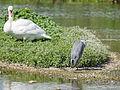 Heron and swan (14400637423).jpg