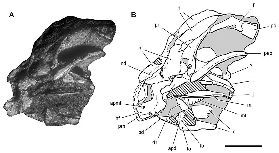 Heterodontosaurus SAM-PK-K10487