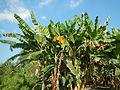 Hf9906Banana plantations Philippinesfvf 04.JPG