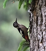 Himalayan Woodpecker (female) I IMG 6732