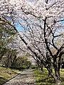 Hiroshima Sakura - panoramio.jpg