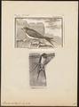 Hirundo rustica - 1700-1880 - Print - Iconographia Zoologica - Special Collections University of Amsterdam - UBA01 IZ16700137.tif