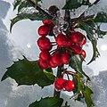 Holly Berries (11797428345).jpg
