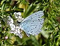 Holly Blue. Celastrina argiolus. 2nd brood (36605943656).jpg