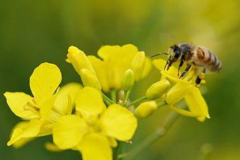 Honney bee (31712077530).jpg
