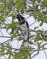 Hooded Butcherbird (Cracticus cassicus) - Flickr - Lip Kee (2).jpg