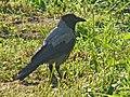 Hooded Crow-Mindaugas Urbonas-2.jpg