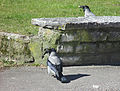 Hooded crows (Corvus cornix) in Falköping 8625.jpg