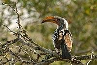 Hornbill Zazu Chitwa South Africa Luca Galuzzi 2004