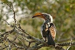Hornbill Zazu Chitwa South Africa Luca Galuzzi 2004.JPG