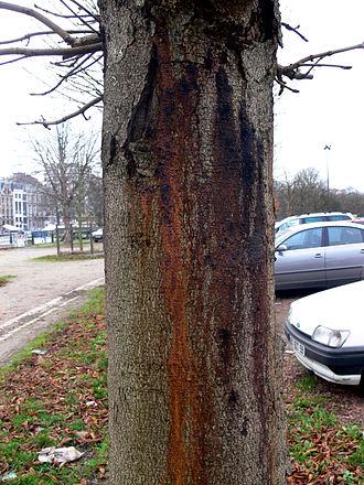 Bleeding canker of horse chestnut - Bleeding canker and bark cracking on the trunk of Horse Chestnut