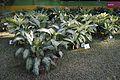 House Plant Show - Agri-Horticultural Society of India - Alipore - Kolkata 2013-11-10 4527.JPG