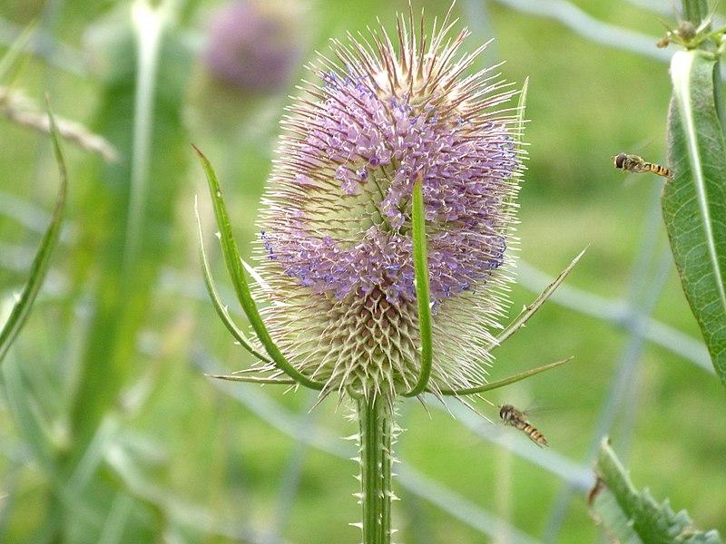 File:Hoverflies (3775295935).jpg