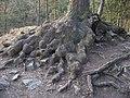 Hrad Zlenice, kořeny stromu.jpg