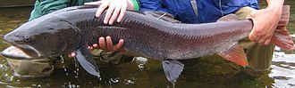 Hucho taimen - Image: Hucho taimen June 2007 Uur River