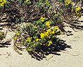 Hudsonia tomentosa, Pancake Bay PP cropped.jpg