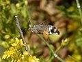Hummingbird Hawkmoth. Macroglossum stellatarum (33052654262).jpg