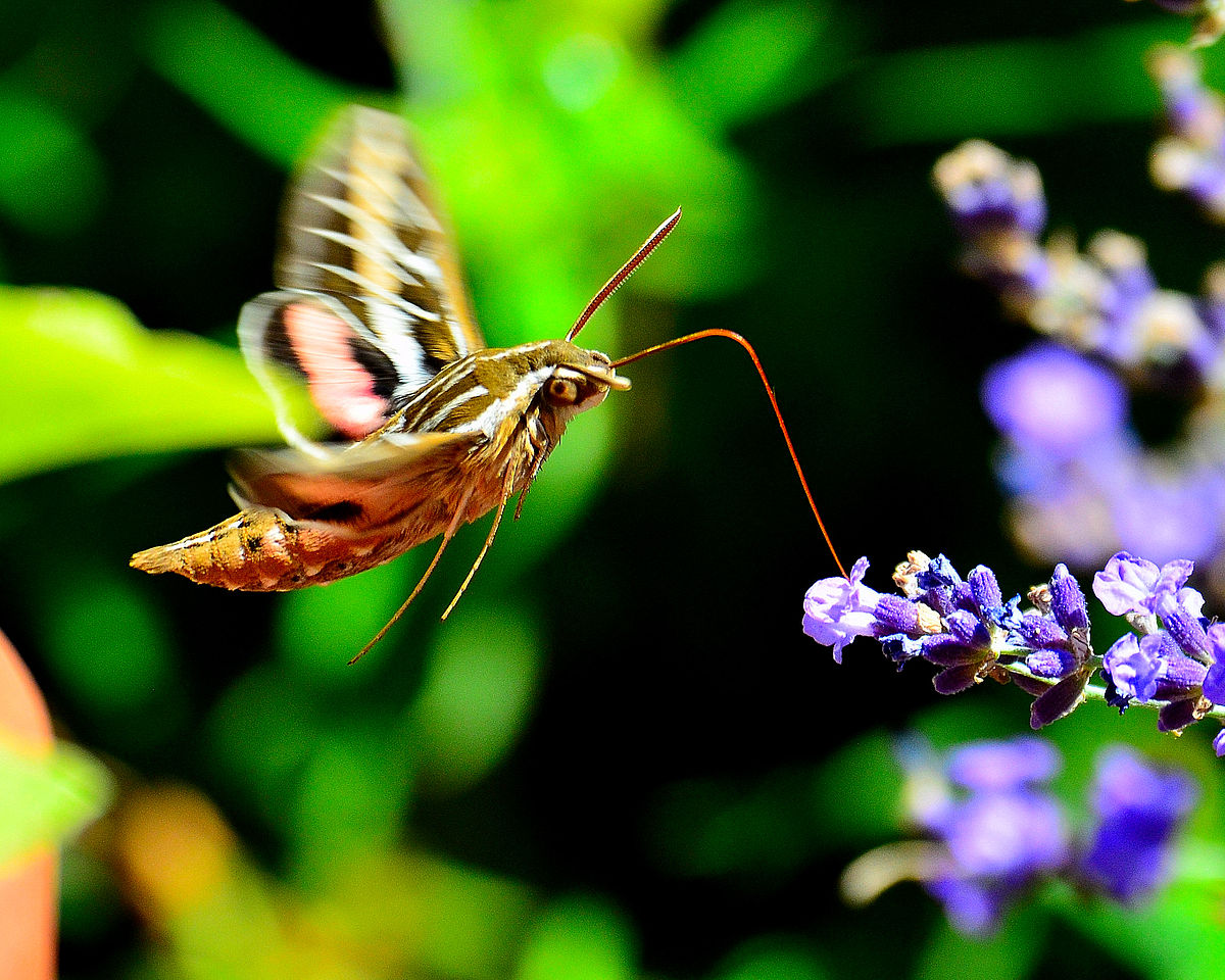 Hummingbird hawk moth caterpillar