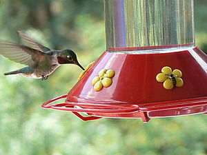 Ruby-throated Hummingbird and wasp