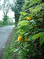 Hunt's Green Hedge - geograph.org.uk - 167619.jpg