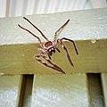 Huntsman Spider in Brisbane (145416639).jpg