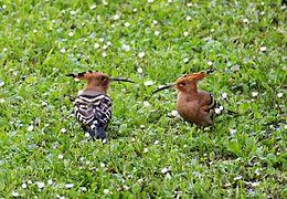 Huppe fasci e wikimonde for Houpette oiseau
