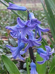 Hyacinth bloem.jpg