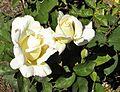 Hybrid Tea - Garden Party 15 (crop).JPG