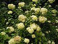 Hydrangea paniculata 02 ies.jpg