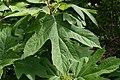 Hydrangea quercifolia Alice 3zz.jpg