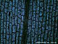 Hydrillaverticillataleaf100x6.jpg