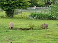 Hydrochoeris hydrochaeris pair in Howletts Wild Animal Park.jpg