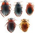 Hygrobiidae Family.jpg