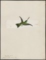 Hylocharis euchloris - 1820-1860 - Print - Iconographia Zoologica - Special Collections University of Amsterdam - UBA01 IZ19100491.tif