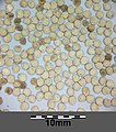 Hyoscyamus niger sl2.jpg