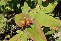 Hypericum androsaemum kz4.jpg