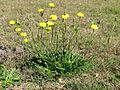 Hypochaeris radicata plant1 (14632148832).jpg