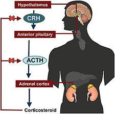 Regulace sekrece ACTH