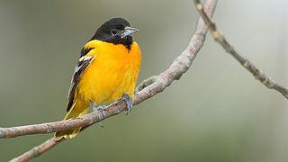 Baltimore oriole species of bird