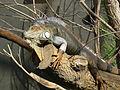 Iguana iguana, Zoo de Vincennes 01.JPG